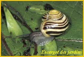 escargot des jardins1