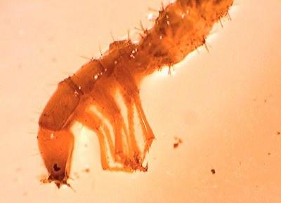 larve de carabique 7mm