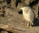 Night Heron    (L Bauza)