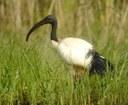 Sacred ibises (L Bauza)
