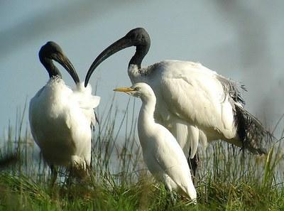 Sacred ibises and heron cattle egrets (L Bauza)