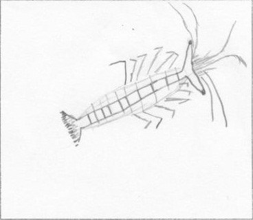 crustace-thibaut