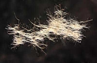 Cyanobacteria (filamentous form)