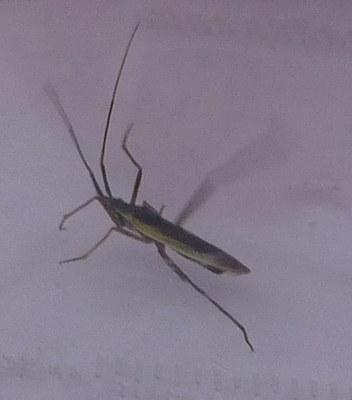 Insecte à déterminer vue1