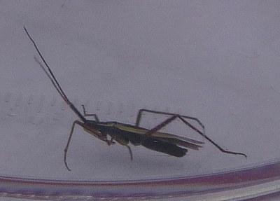 Insecte à déterminer vue2