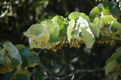 Détail d'une branche de tilleul
