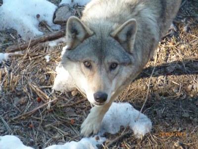Régime alimentaire du loup