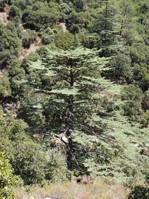 Cedre de Chypre