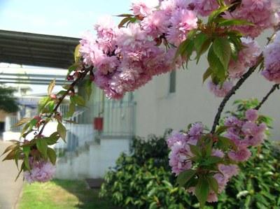 cerisier japonais 1