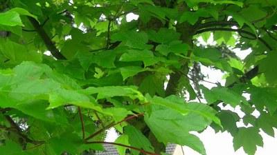 erable feuilles 1