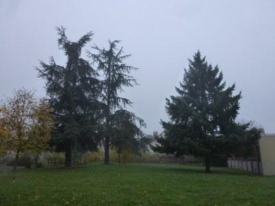 cedres dans le brouillard