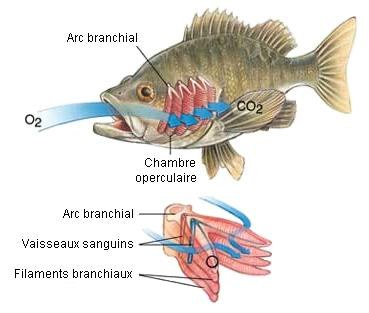 branchiebis