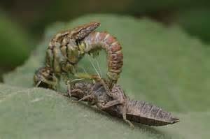 libellulemetamorphose