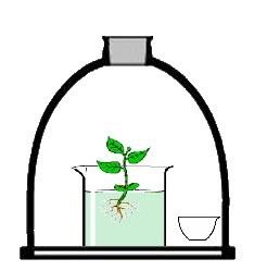 plantepotasse