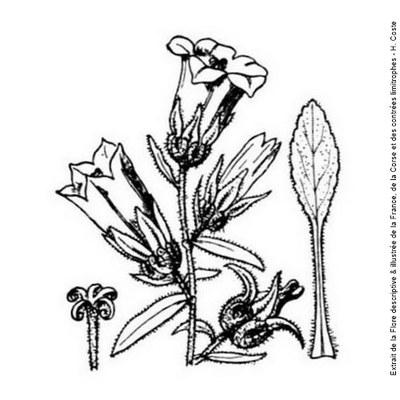 campanule a g fleurs