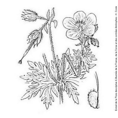 geranium des pres