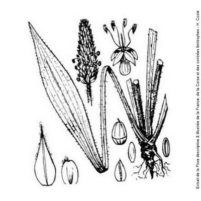 plantain lanceole