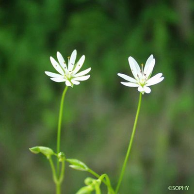 stellaire a feuilles de graminee 1