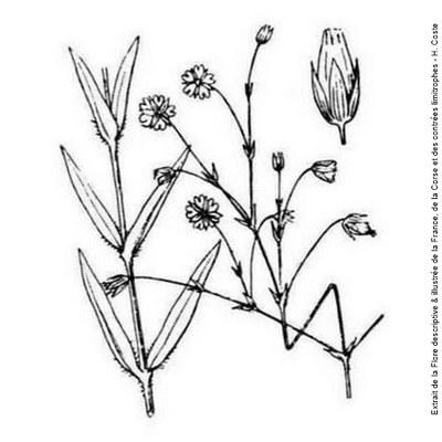 stellaire a feuilles de graminee