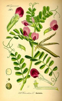 vesce cultivee 2