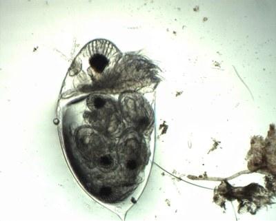 Cladocère (zooplancton permanent, crustacé)