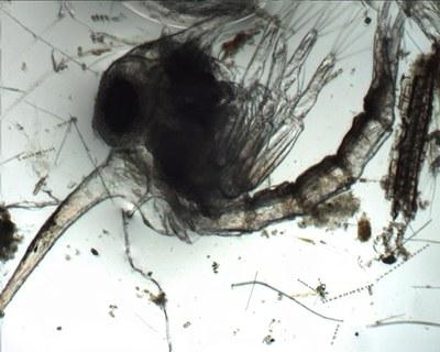 Larve Zoé de crabe (zooplancton temporaire, crustacé)
