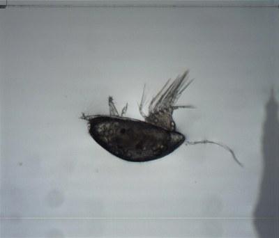 Larve cypris de balane (zooplancton temporaire, crustacé cirripède)