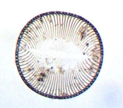 Frustule vide de diatomée