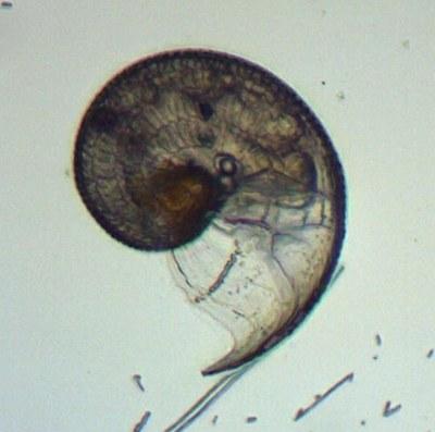 Gastéropode (zooplancton, mollusque)