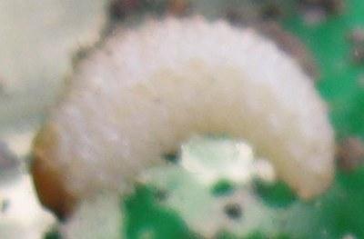 larve blanche 3