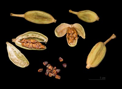 1024px Elettaria cardamomum Capsules and seeds