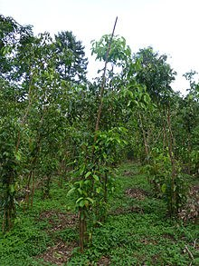 220px Sri Lanka Cinnamomum verum (2)