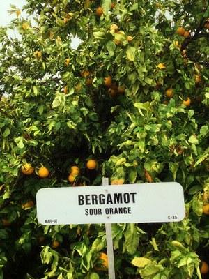 Bergamot   Sour Orange (Tree)   Waddell, Maricopa County, Arizona, USA   January 2013