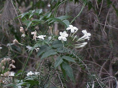 Jasminum polyanthum0