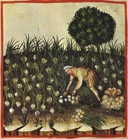 Illustration 2 récolte des aulx